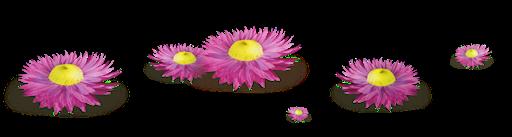 Parterre marguerites roses